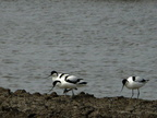 31-GROUPE-AVOCETTES