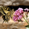 Juin 2015 069 papillons machaon