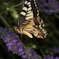 Juin 2015 070 papillons machaon