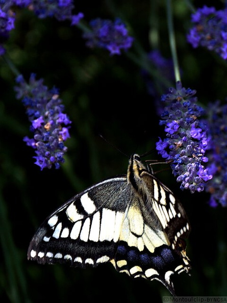 Juin_2015_071_papillons_machaon.jpg