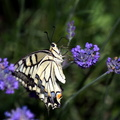 Juin 2015 072 papillons machaon